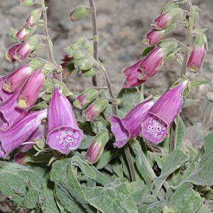 Digitalis purpurea subsp. purpurea L.