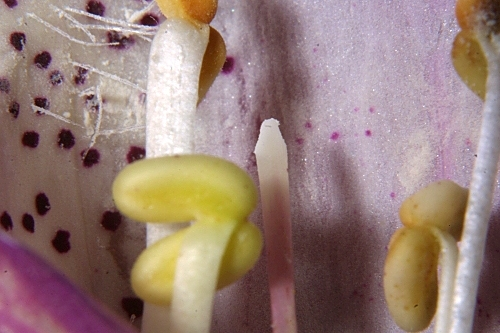 Digitalis purpurea subsp. purpurea L.