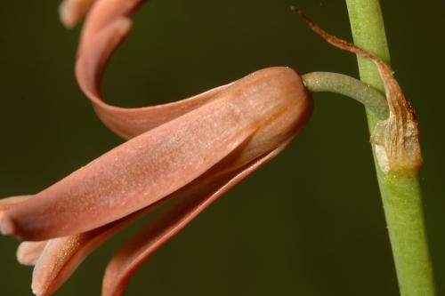 Dipcadi serotinum (L.) Medik.