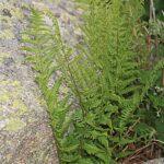 Dryopteris affinis subsp. affinis (Lowe) Fraser-Jenk.