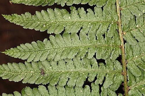 Dryopteris affinis subsp. borreri (Newman) Fraser-Jenk.