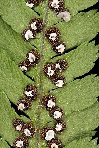 Dryopteris filix-mas (L.) Schott