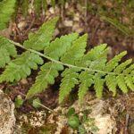 Dryopteris submontana (Fraser–Jenkins & Jermy) Fraser–Jenkins