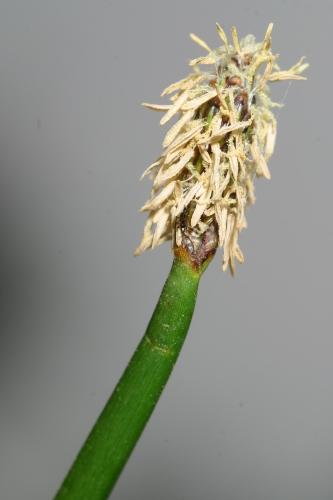 Eleocharis palustris (L.) Roemer & Schultes