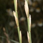 Elymus farctus subsp. boreali-atlanticus (Simonet & Guinochet) Melderis