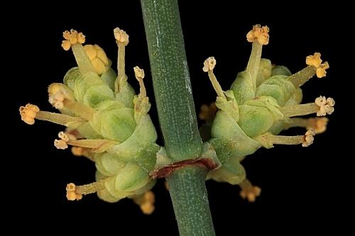 Ephedra fragilis subsp. fragilis Desf.