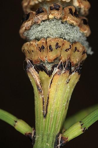 Equisetum ramossisimum 0003