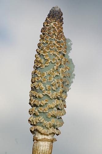 Equisetum ramossisimum 0013