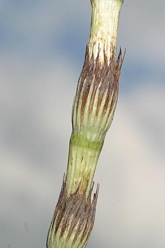 Equisetum ramossisimum 0014