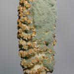 Equisetum ramossisimum 0015