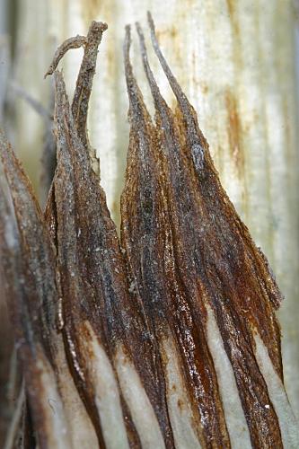 Equisetum ramossisimum 0016