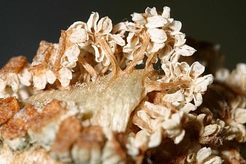 Equisetum ramossisimum 0017