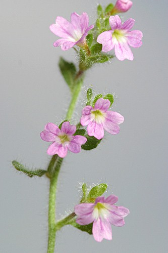 Erinus alpinus L.