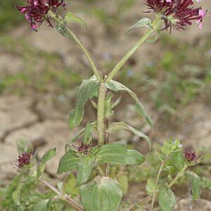 Fedia cornucopiae (L.) Gaetner
