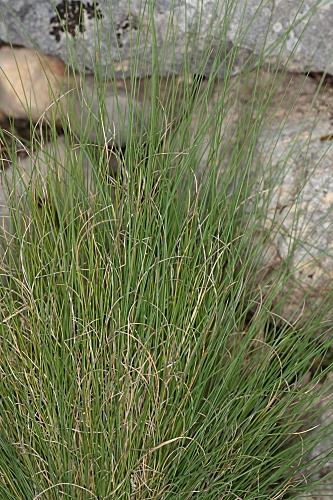 Festuca capillifolia Dufour