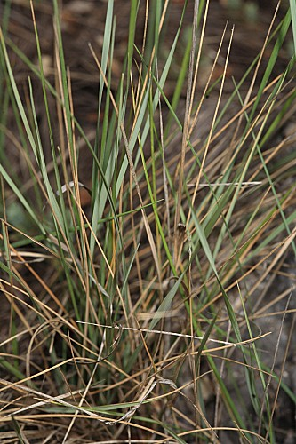 Festuca scariosa (Lag.) Asch. & Graebn.
