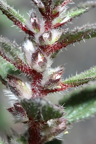 Forsskaolea tenacissima L.