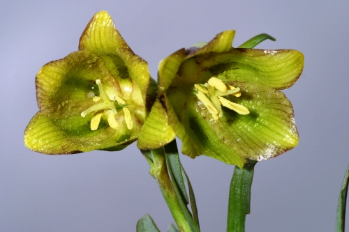 Fritillaria hispanica Boiss. & Reut.