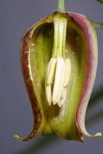 Fritillaria lusitanica Wikstr.