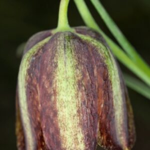 Fritillaria stenophylla Boiss. &Reut.