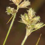 Fuirena pubescens (Poir.) Kunth