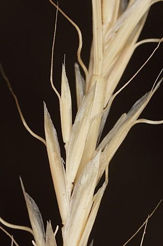 Gaudinia fragilis (L.) Beauv.