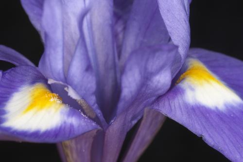 Gynandriris sisyrinchium (L.) Parl.