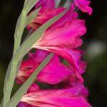 Gladiolus communis L.