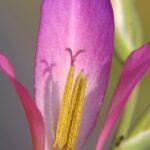 Gladiolus illyricus Koch
