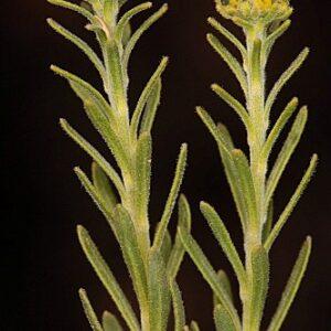 Haplophyllum rosmarinifolium (Pers.) G. Don