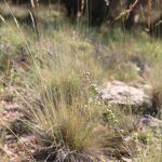 Helictotrichon filifolium (Lag.) Henrard