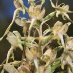 Himantoglossum hircinum (L.) Spreng.