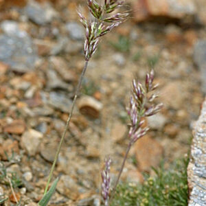 Holcus caespitosus Boiss.