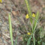 Hordeum leporinum Link
