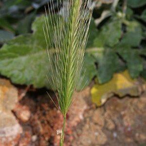 Hordeum murinum Hudson
