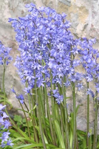 Hyacinthoides non-scripta (L.) Chouard ex Rothm.