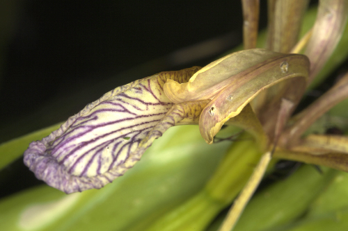 Chamaeiris foetidissima (L.) Medik.