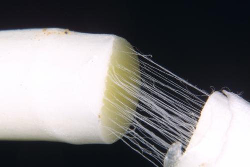 Juno planifolia(Mill.) Asch.