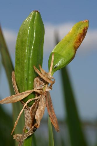 Limniris pseudacorus (L.) Fuss