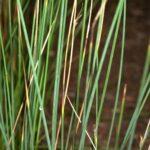 Juncus inflexus L.