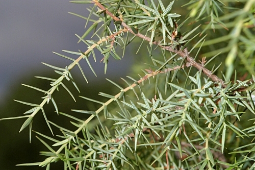 Juniperus communis subsp. communis L.