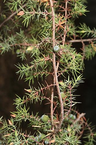 Juniperus oxycedrus subsp. oxycedrus L.