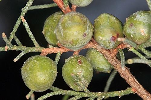 Juniperus phoenicea subsp. phoenicea L.