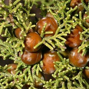 Juniperus phoenicea subsp. turbinata (Guss.) Nyman