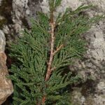 Juniperus sabina L.