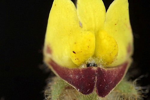 Kickxia spuria (L.) Dumort