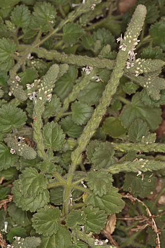 Lafuentea rotundifolia Lag.