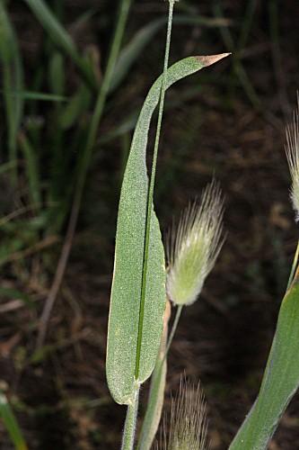 Lagurus ovatus L.