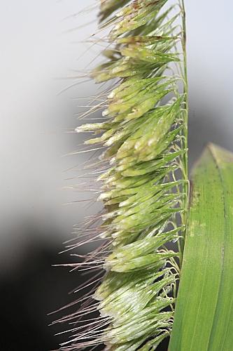 Lamarckia aurea (L.) Moench