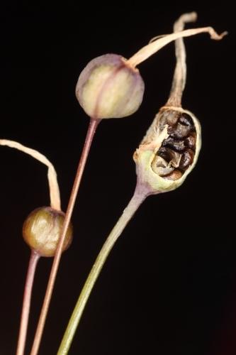Leucojum autumnale L.